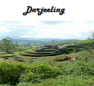 Darjeeling Tea: Finest Tippy Black Tea