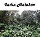 India Malabar Monsooned Voyage Coffee