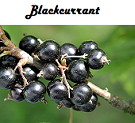 Blackcurrant Flavored Tea